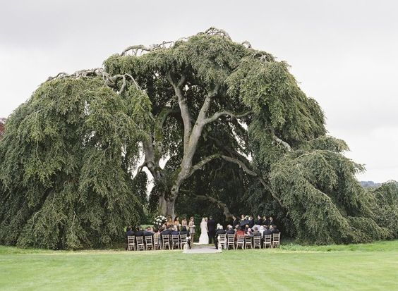 Weeping Beech Tree - Bellinter House
